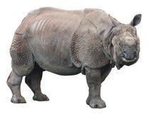 Индийский носорог или большой одн-horned носорог на белой предпосылке Стоковые Изображения