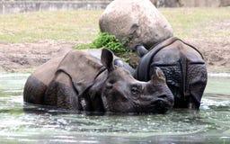Индийский носорог или большой одн-horned носорог Стоковая Фотография