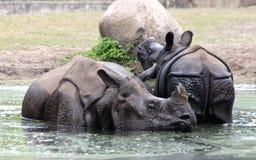 Индийский носорог или большой одн-horned носорог Стоковая Фотография RF