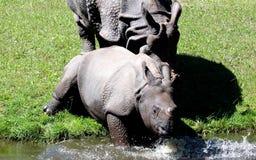 Индийский носорог или большой одн-horned носорог Стоковое Изображение RF