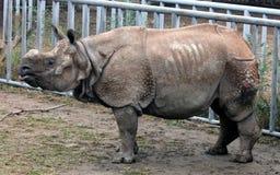Индийский носорог или большой одн-horned носорог Стоковые Фотографии RF