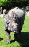 Индийский носорог или большой одн-horned носорог Стоковые Изображения RF
