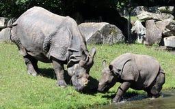 Индийский носорог или большой одн-horned носорог Стоковое Изображение