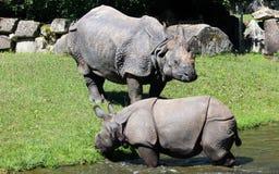 Индийский носорог или большой одн-horned носорог Стоковое фото RF