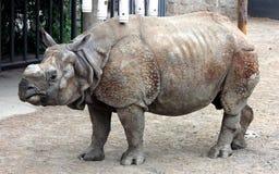 Индийский носорог или большой одн-horned носорог Стоковое Фото