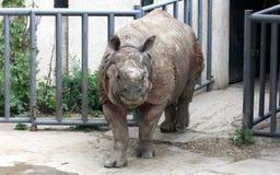 Индийский носорог или большой одн-horned носорог Стоковые Изображения