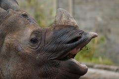 Индийский носорог - unicornis носорога Стоковая Фотография RF