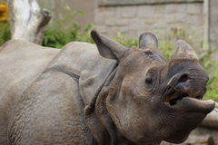 Индийский носорог - unicornis носорога Стоковое фото RF