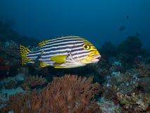 Индийский океан Oriental Sweetlips Стоковое Изображение