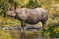 Носорог около потока Стоковая Фотография