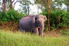 Индийский одичалый слон в национальном парке bandipur Стоковые Фото