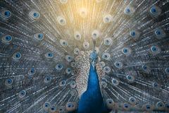 Индийский павлин или голубой павлин, большая и ярко покрашенная птица Стоковая Фотография