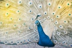 Индийский павлин или голубой павлин, большая и ярко покрашенная птица Стоковые Изображения