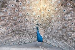 Индийский павлин или голубой павлин, большая и ярко покрашенная птица Стоковое Изображение RF