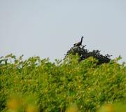 Индийский павлин - павлин - сидя на ветви na górze дерева Стоковая Фотография