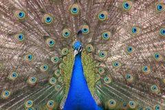 индийский павлин Стоковые Фотографии RF