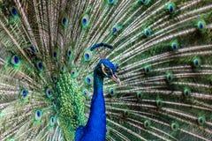 индийский павлин Стоковые Фото