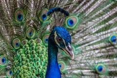 индийский портрет павлина Стоковые Изображения RF