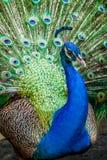 индийский портрет павлина Стоковые Фотографии RF