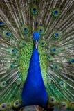 индийский портрет павлина Стоковое фото RF