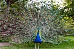 Индийский протягивать павлина Стоковая Фотография RF