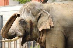 Индийский слон Стоковое Изображение RF