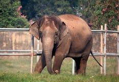 Индийский слон Стоковые Фото