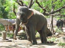 Индийский слон Стоковая Фотография