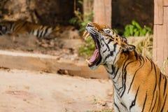 Индийский тигр в одичалом Королевский, тигр Бенгалии Стоковое Изображение RF