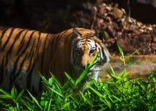 Индийский тигр Стоковая Фотография
