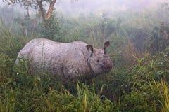 Индийский угрожаемый носорог в соотечественнике Parc Kaziranga стоковые изображения rf