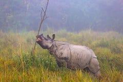 Индийский угрожаемый носорог в соотечественнике Parc Kaziranga Стоковое Изображение RF