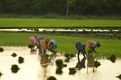 Индийский фермер риса Стоковые Изображения RF