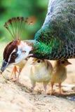 Индийский цыпленок крупного плана павлина Стоковое фото RF