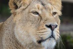 индийский львев Азиатский женский конец львицы вверх Стоковое Изображение RF
