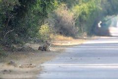 Индийский Jackal стоковое фото
