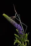 Индийский Mantis травы (Schizocephala Bicornis) Стоковые Фотографии RF