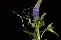 Индийский Mantis травы (Schizocephala Bicornis) Стоковая Фотография RF