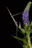 Индийский Mantis травы (Schizocephala Bicornis) Стоковое Изображение RF