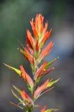 Индийский paintbrush Стоковое Изображение RF