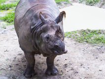 индийский rhinoceros Стоковые Фото