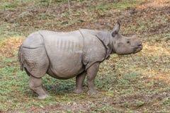 индийский rhinoceros Стоковое фото RF