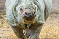 Индийский Rhinoceros (unicornis Rhinoceros) Стоковое фото RF