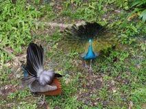 2 индийских павлина Стоковые Фото