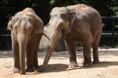 2 индийских слона (indicus maximus Elephas) Стоковое Фото