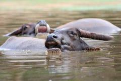 2 индийского буйвола в озере Стоковая Фотография RF