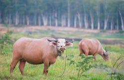 2 индийского буйвола в Таиланде Стоковые Фотографии RF