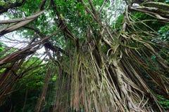 Индийское резиновое дерево Стоковые Изображения