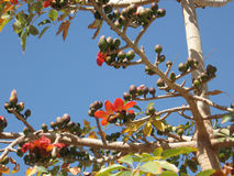 Индийское цветение Bombax Стоковые Фотографии RF