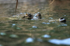 Индийское gavial Стоковые Изображения RF